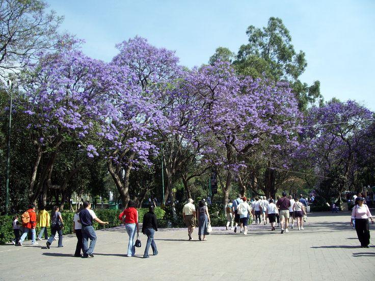 parc Chapultepec et les jacarandas en fleur au bout de l'avenue Reforma à Mexico.