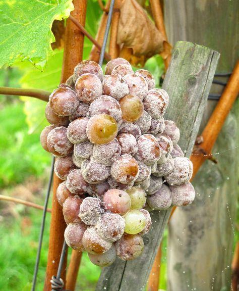 Grauschimmel wird durch einen Pilz verursacht, der vor allem geschwächte und beschädigte Pflanzen befällt. Er sucht eine große Anzahl von Obst- und Gemüsesorten wie Erdbeeren und Gurken heim, aber auch Zier- und Zimmerpflanzen sowie Bäume und Sträucher sind oft betroffen. So können Sie einem Befall vorbeugen und Grauschimmel bekämpfen.