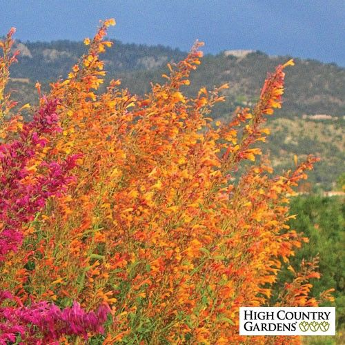 Agastache aurantiaca Apricot Sprite provides a sizzling blast of bright orange flowers during the heat of mid- to late summer. An outstanding perennial for attracting hummingbirds.