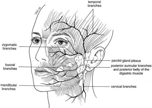 Facial Nerve Anatomy  Epomedicine