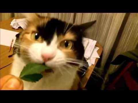 "Funny  Cat Stoner Eating Weed - http://positivelifemagazine.com/funny-cat-stoner-eating-weed/ http://img.youtube.com/vi/Y9L9lJEor_E/0.jpg  cute, catnip, funny, kitty, cats, funny cats, cat, meow, kitten, kittens, pets, animals, pet, animal, dog, funny cat videos, hilarious, catnip effect, overdose, talking, … ***Get your free domain and free site builder*** Click to Surprise me! Please follow and like us:  			var addthis_config =  				 url: """", 				 title: """""