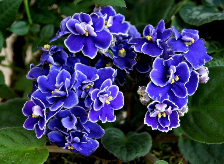 Les 25 meilleures id es de la cat gorie saintpaulia sur for Violette africane
