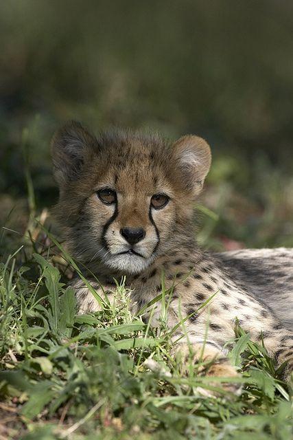 Cheetah cub by Official San Diego Zoo, via Flickr