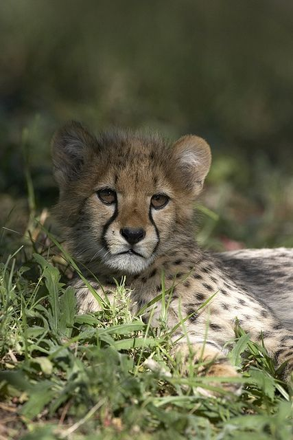 Cheetah cub by Official San Diego Zoo, via Flickr