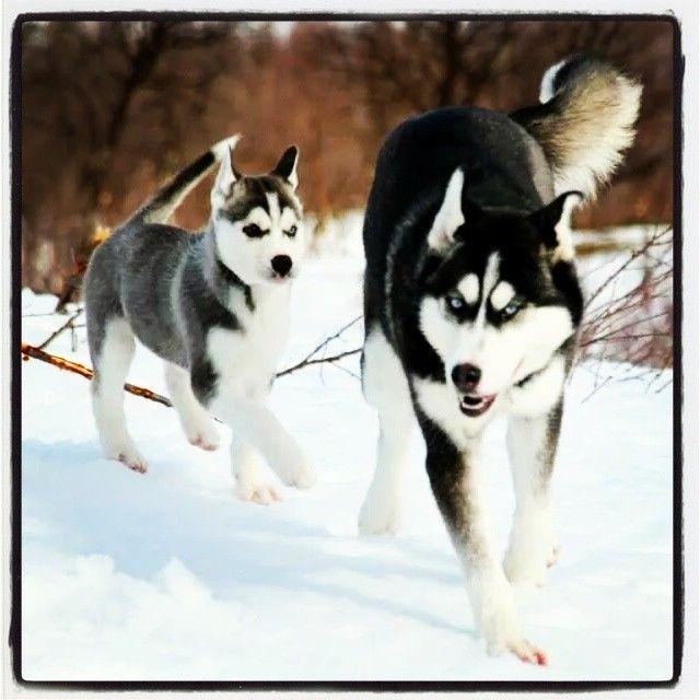 Storm og Arwen running in the snow.