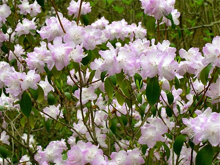 Hirsutum.info -- Rhododendron Hybrid: Arctic Glow high-resolution picture