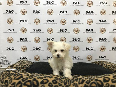 Poodle (Toy)-Yorkshire Terrier Mix puppy for sale in TEMPLE CITY, CA. ADN-59384 on PuppyFinder.com Gender: Female. Age: 9 Weeks Old