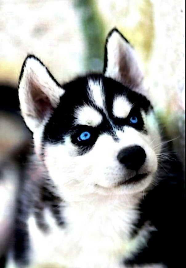 Black Husky With Blue Eyes Husky With Blue Eyes Black Husky Husky