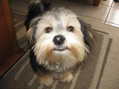 Maltese Silky Terrier Mix Our Silkese Dog Motley Is Now
