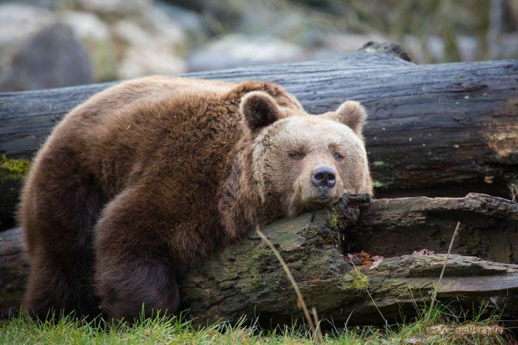 Per salvare l'orsa Daniza, l'esemplare responsabile delle lievi ferite causate ad un cercatore di funghi, nei boschi di Pinzolo (Trentino), occorre mettere