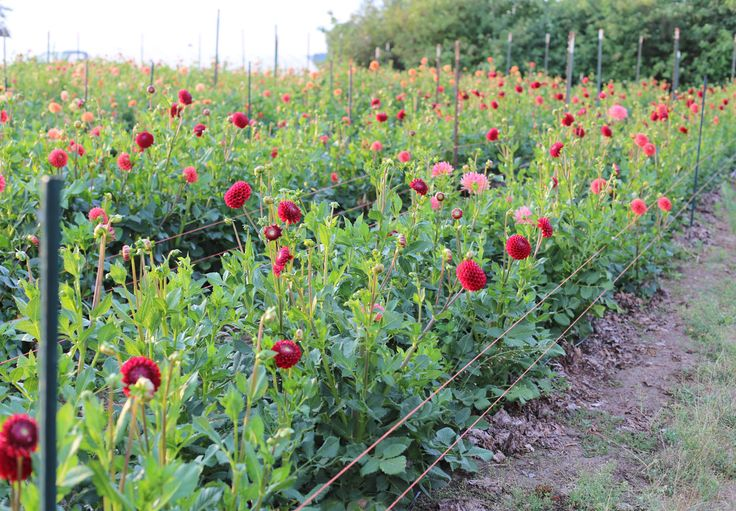 Floret_How To Grow Dahlias-13
