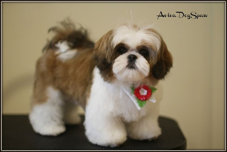 haircuts for shih tzu dogs shih tzu puppy haircuts cats and dogs picture 4429
