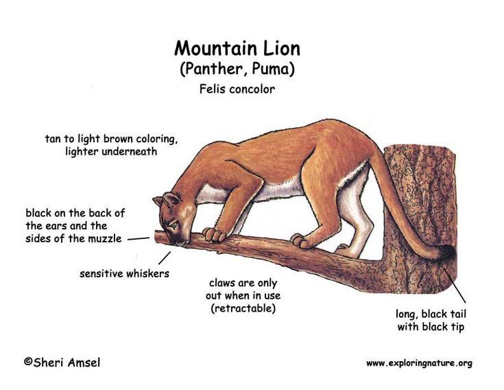 Mountain Lion (Panther, Puma) | Panther Art | Pinterest | Discover ...