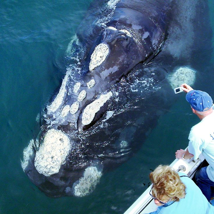 With Ivanhoe Sea Charters, you can get up close and personal with these giants of the deep. contact Gordon's Beach Lodge, beachfront accommodation for their October whale watching savings where you save on the accommodation and on the whale watching tour! Phone021 856 3519 Emailinfo@gordonsbeachlodge.co.za