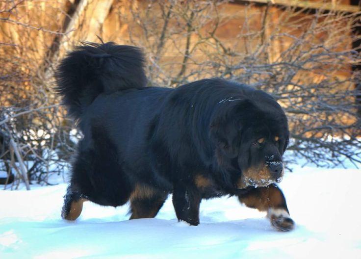 https://www.facebook.com/dumitrel.ungureanu #Tibetan #Mastiff Beautiful Tibetan Mastiff. One of the most expensive breed in the world