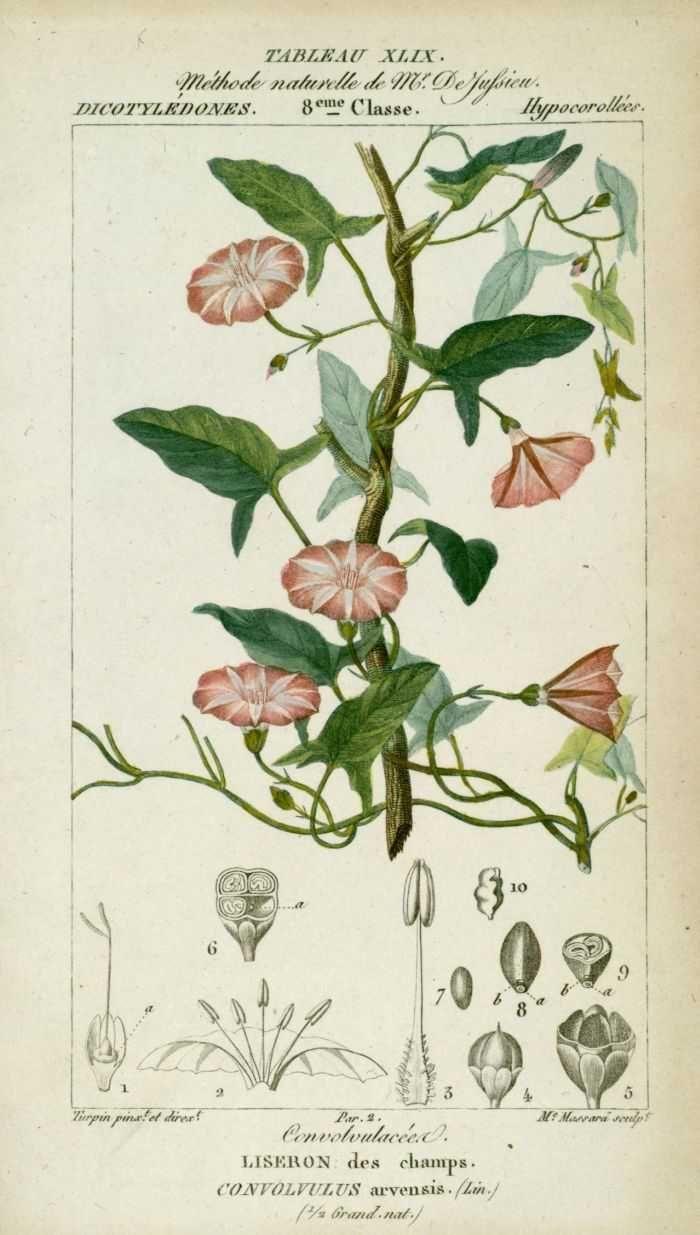 img/dessins-gravures de plantes medicinales/liseron des champs ( convolvulus arvensis ).jpg