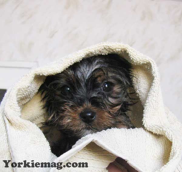 Yorkies How To Bathe A Yorkie Or Yorkie Puppy Yorkiemag In 2020