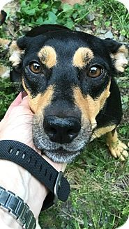 Rockville, MD - Miniature Pinscher/Hound (Unknown Type) Mix. Meet Nina, a dog for adoption. http://www.adoptapet.com/pet/18565809-rockville-maryland-miniature-pinscher-mix