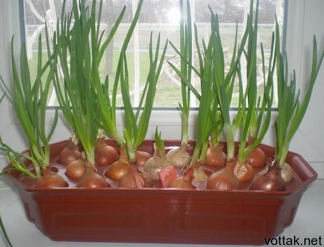 Как вырастить зеленый лук на подоконнике?