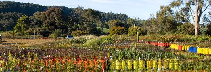 Redbreast Plants - Australian Native Plants (Tasmania)