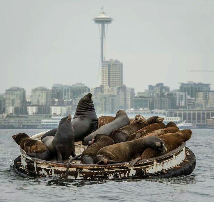Sea lions in Elliott Bay | #Seattle....where's the salmon?