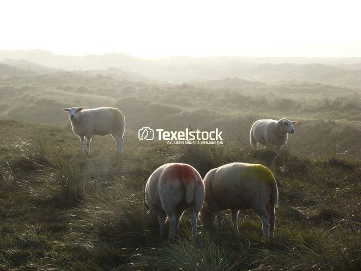 Mokbaai schapen – TexelStock.nl – Photo/Foto