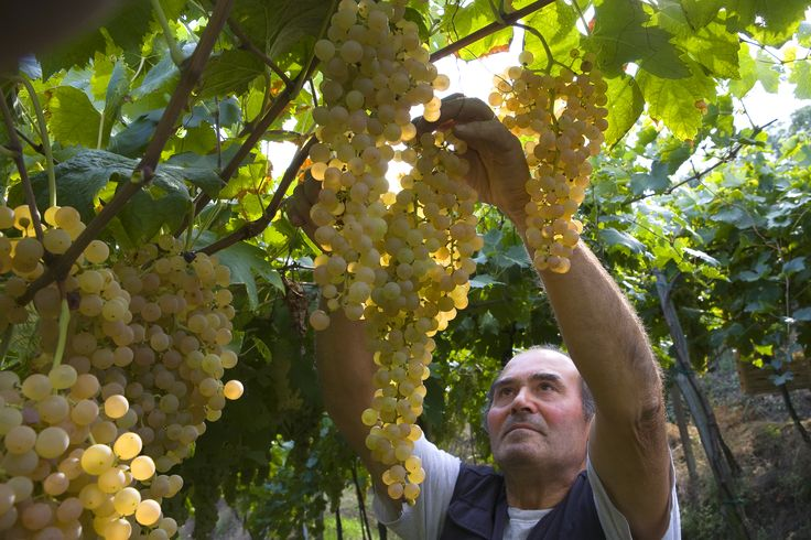 Aldo Tessari and the first harvest: selection of the best grapes for Recioto di Soave wine