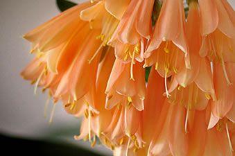 clivia kukka