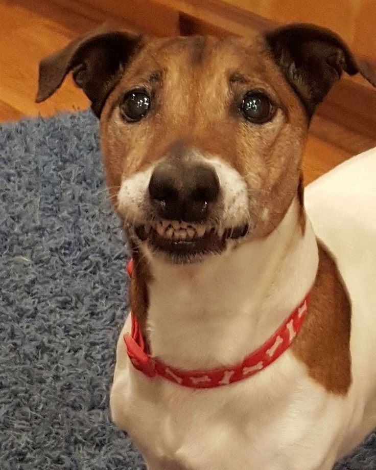 """Jackson (fka GA JRT rescue Spike) sharing that """"stuck-lip smile"""" that makes us all laugh. (Insert heart emoticons below) #adorable #face #cutest #jrt #funny #dog"""