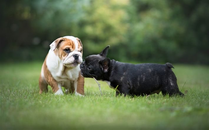 Download wallpapers Puppies, French Bulldog, English Bulldog, dogs, cute animals, small dogs