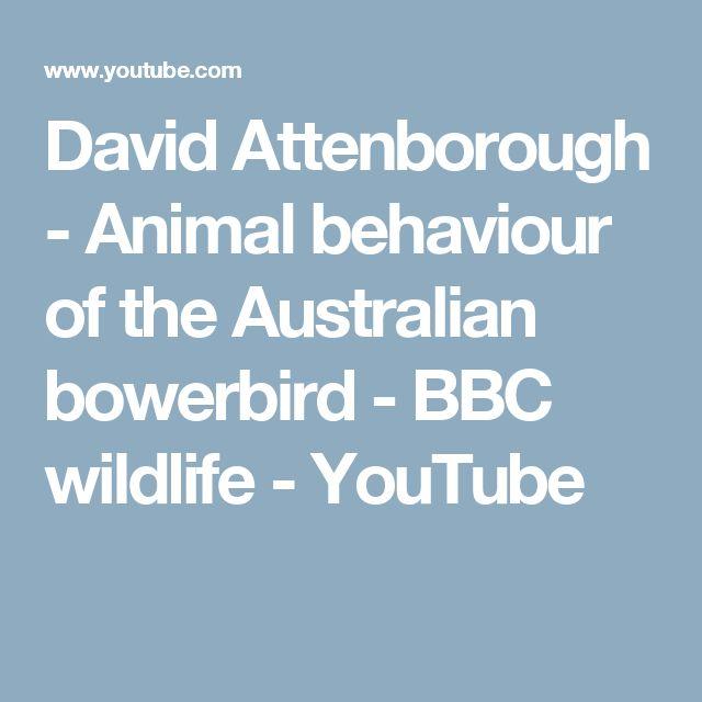 David Attenborough - Animal behaviour of the Australian bowerbird - BBC wildlife - YouTube