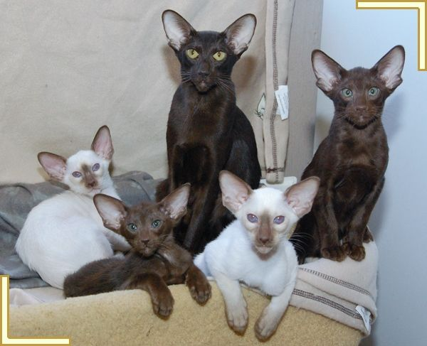 Mixed litter of Siamese and Oriental kittens as featured on the UK Cat Breeders breed profile page for Oriental cats.