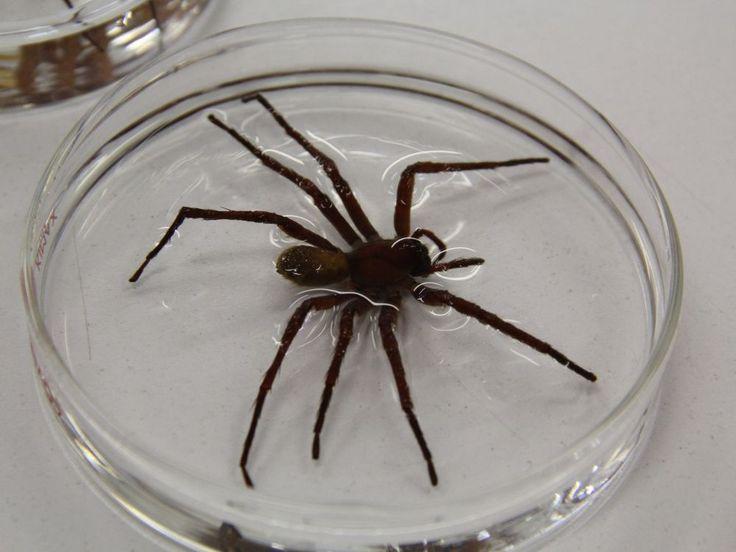 Une nouvelle espèce d'araignée a été découverte au Mexique : la Califorctenus Cacachilensis fait la taille d'une assiette avec un diamètre de 23 cm.