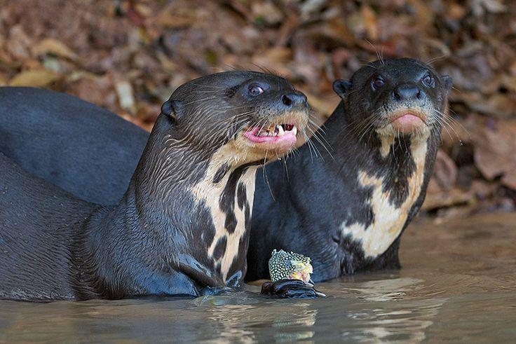 Giant River Otters, Pantanal, Brazil, Sean Crane