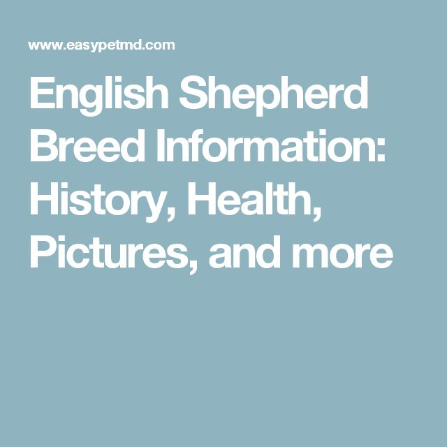 English Shepherd Breed Information: History, Health, Pictures, and more