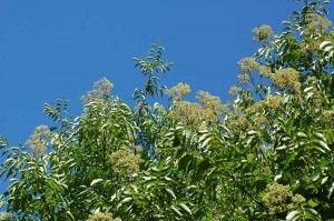 Der Bienenbaum Euodia hupehensis, spätsommerliche Nektarquelle und Pollenaufbautracht für blütenbesuchende Insekten