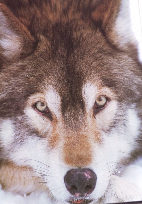 Wolves naturally do not retain pink in their nose, paws and lips. The picture's information didn't state anything about it, but this wolf probably has some decease or condition, like for example vitiligo which causes depigmentation of skin in certain...