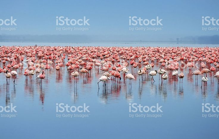 A flock of flamingos in the water royalty-free stock photo
