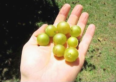 Need a Scuppernong Grape Wine Recipe? | E. C. Kraus Home Winemaking Blog