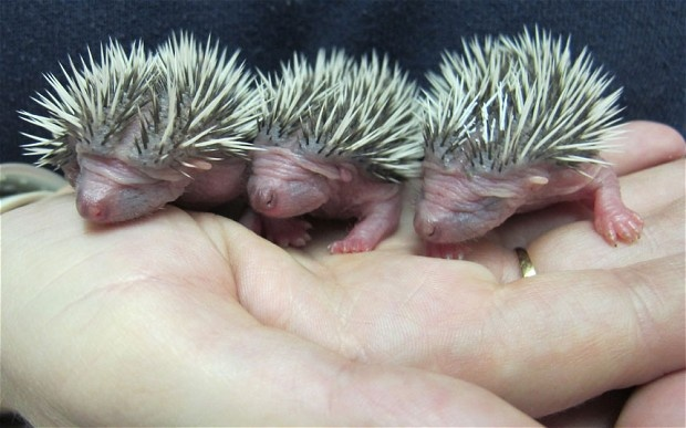 3 abandoned baby hedgehogs  now at the Secret World Wildlife Rescue centre