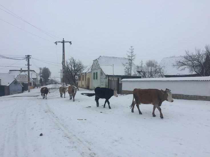 cows passing in the snow in front of HRH Prince Charles' cottage house in Viscri