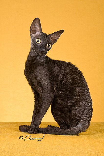 Cornish Rex  This elegant lady has been rather fabulously named 'Quails Nest Kissing Time of Boska', or Kissy III for short. The regal monik...