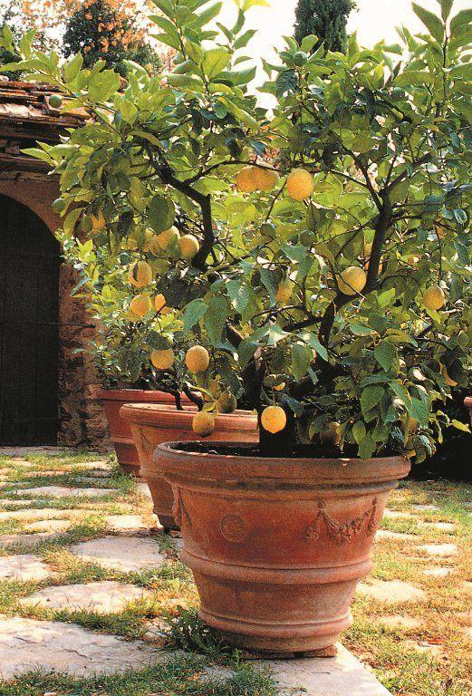 lemon tree potted  tree garden design  potted trees  citrus trees  citrus garden  courtyard