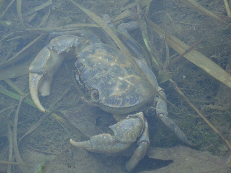 Big crab - The river at Damnoni beach, South Crete.
