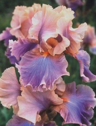 Iris 'Chasing Rainbows'
