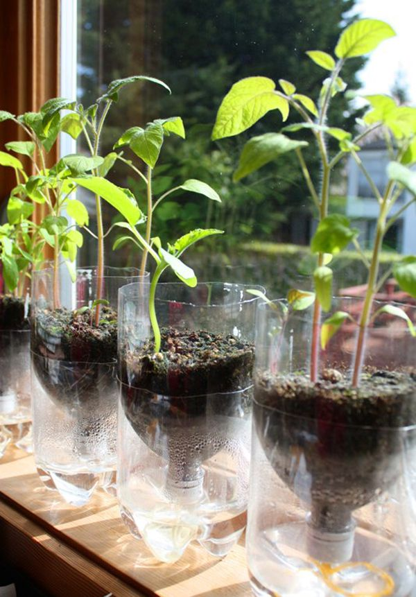 Recycling old plastic bottles and turning them upside down. no need to water them and also, good for indoor! :) Currently doing these and planting tomatoes, okra, mustard, chinese pak choi! I don't even buy my veggies. :)