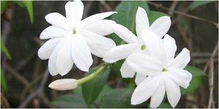 Bunga Melati Untuk Perawatan Kecantikan #flower #bunga #kesehatan #health #kecantikan #beauty #herbal