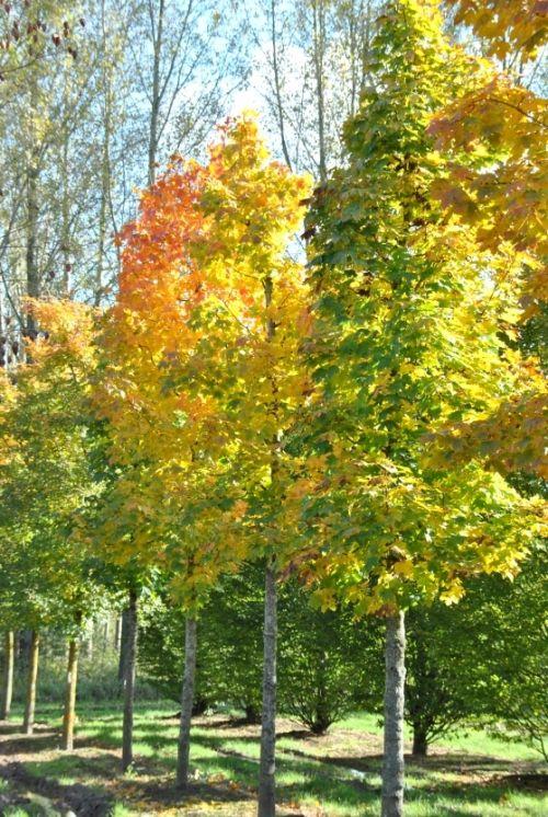 Acer platanoides 'Columnare' #tree #autumn #colours www.vdberk.co.uk