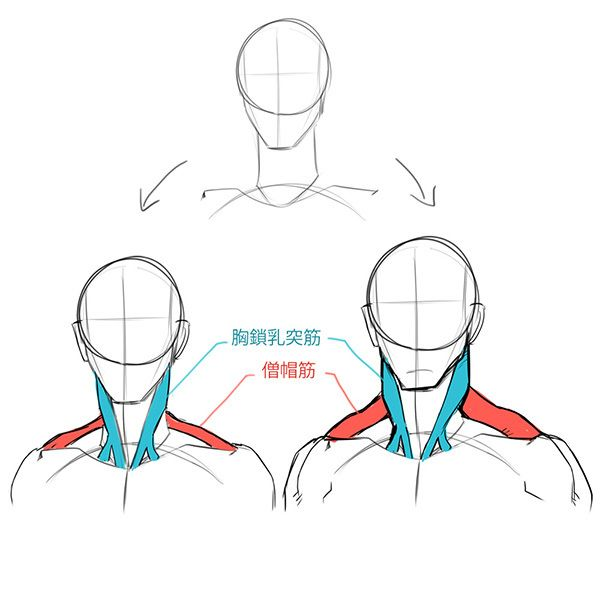 斜め顔 首 筋肉 描き方