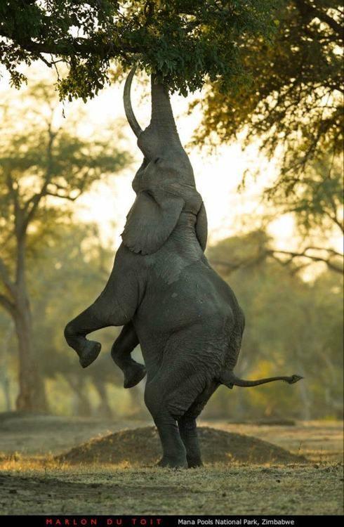 #elephant eating